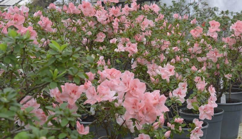 Азалии из Ботанического сада Кривого Рога