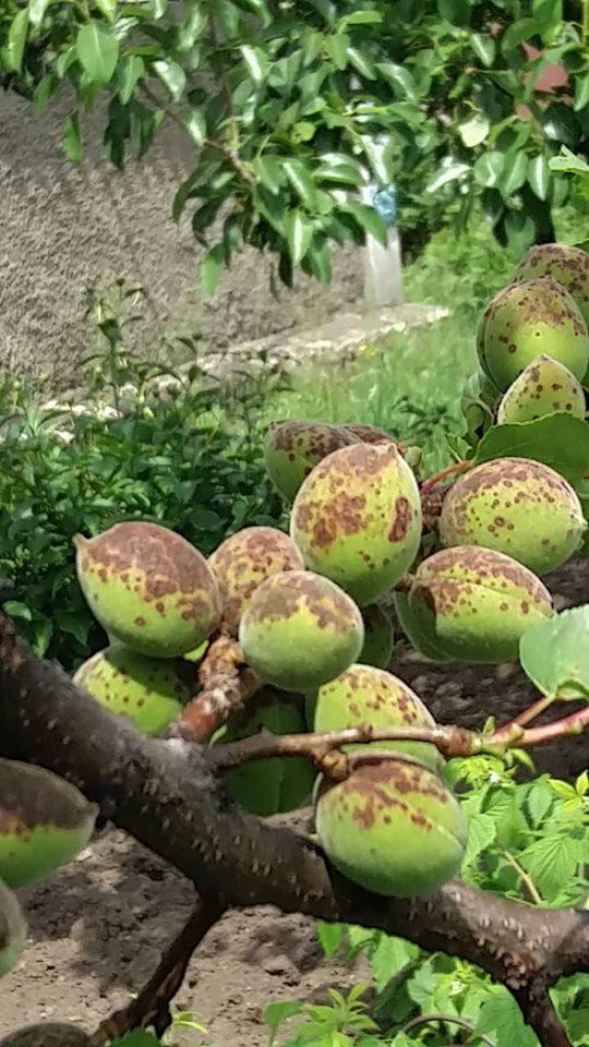 Ржавые пятна на криворожских абрикосах появились после дождя