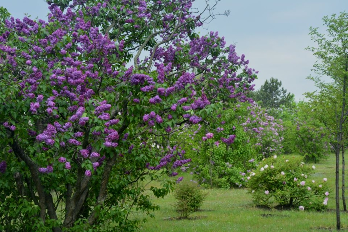 Сиренгарий ботанического сада.