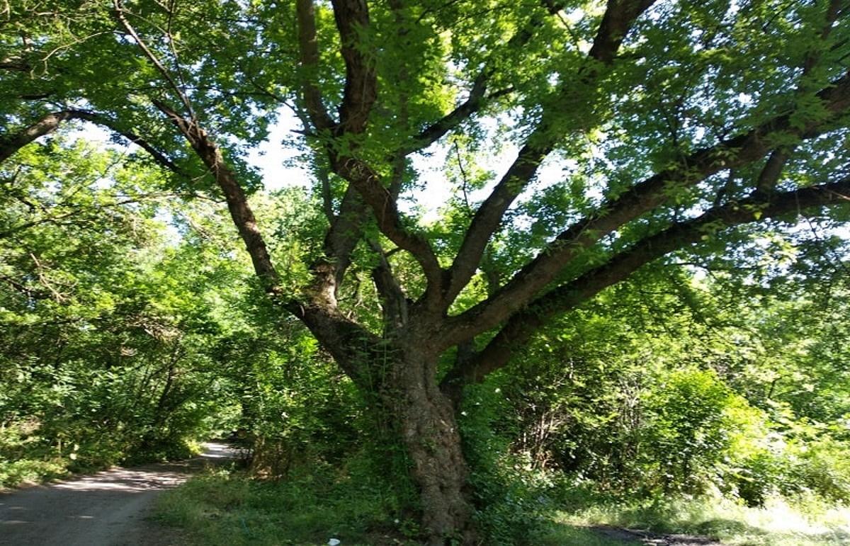 Этот дуб помнит еще Николая Харина.